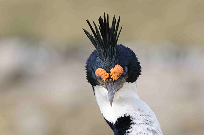 Blue eyed Shag-