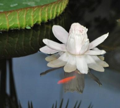 Floración de la Victoria Cruziana 2014