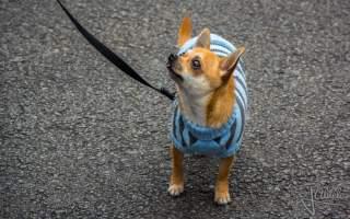 fashion perro