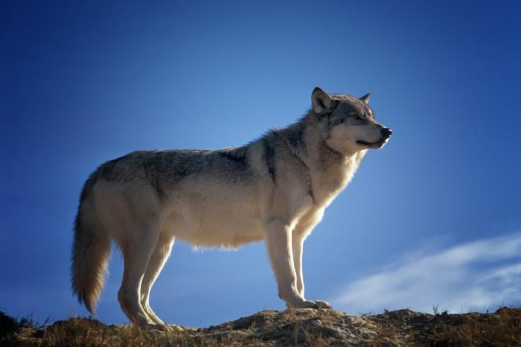 Majestic Wandering Wolf Wildlife Montana