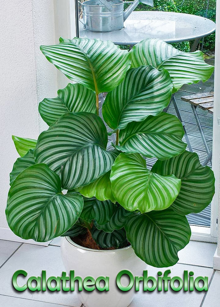 Calathea Orbifolia Quiet Corner:how To Grow And Care For Calathea Orbifolia