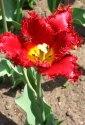 tulip-fest-2008-5