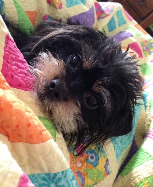scruffy-puppy-4