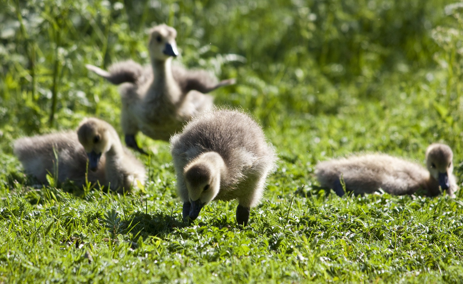 Baby Update Blog Macro Shots Goose Chicks And Flowers Photography Blog