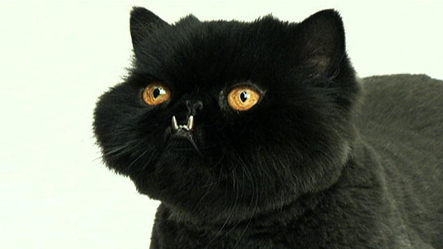 Image Gallery Odd Looking Cats