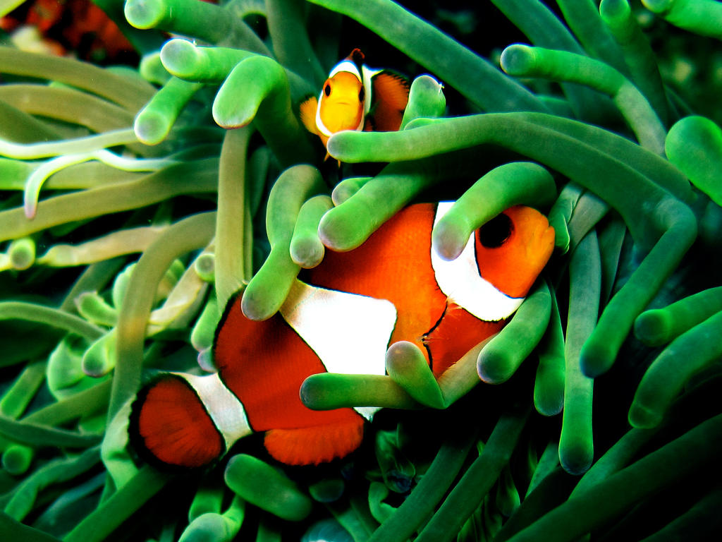 Wallpaper Aquarium 3d Clown Fish Wild Animal Safari Animal Planet