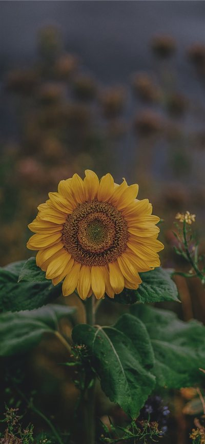 sunflower iPhone X Wallpaper Download   iPhone Wallpapers, iPad wallpapers One-stop Download