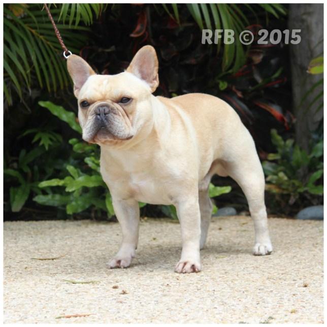 French Bulldogs in Hawaii