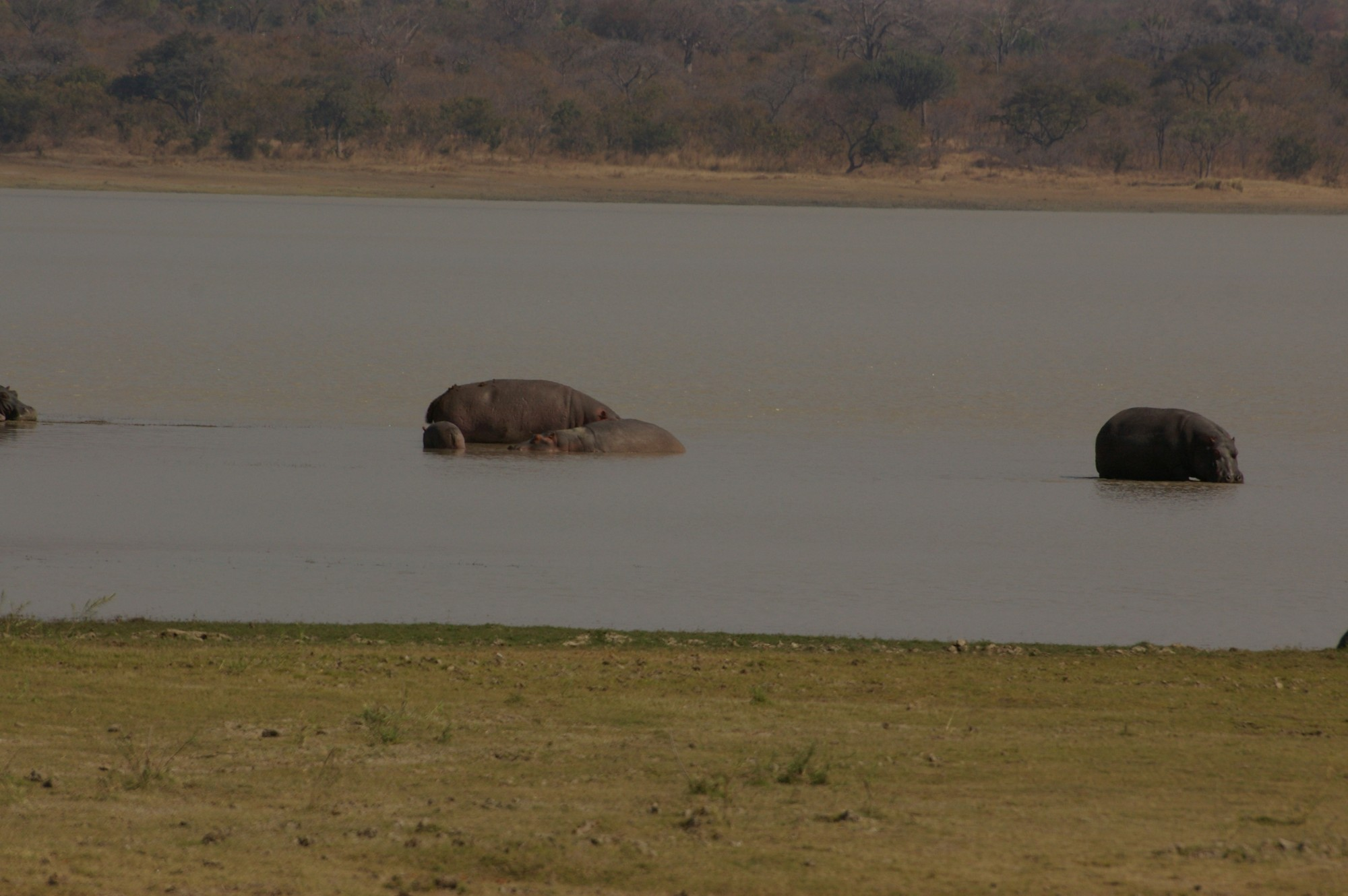 hippos at Vwaza Wildlife Reserve in Malawi (photo courtesy of Anne Hellersmith)
