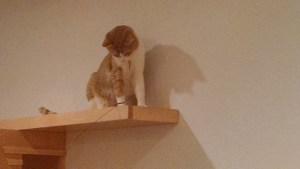 cat cafe orange tabby on shelf