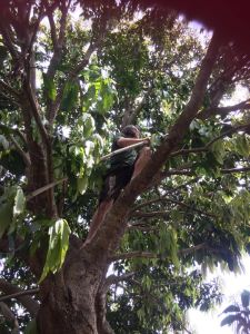 Mangos im hauseigenen Garten pfluecken