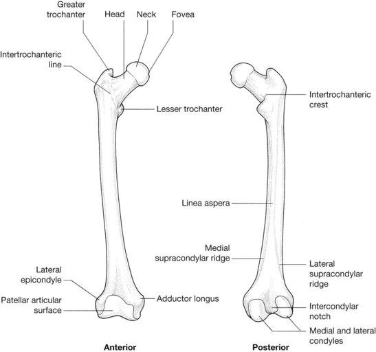 diagram of femur