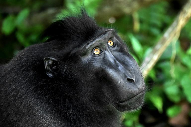 Un macaco negro crestado, en la reserva natural de Tangkoko, en la isla indonesia de Célebes, el 19 de febrero de 2017 AFP/Archivos / Bay Ismoyo