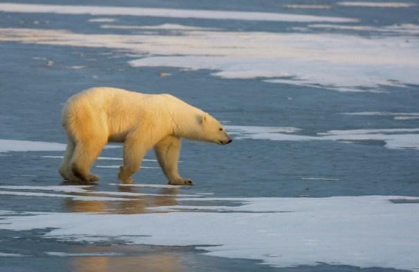 AFP/Archivos / Paul J. Richards Un oso polar en Churchill (Canadá), el 14 de noviembre de 2007
