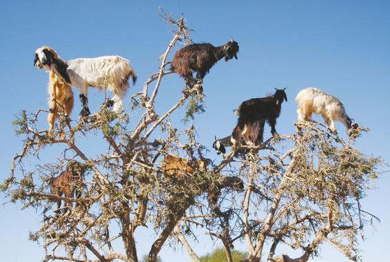 Las-cabras-trepadoras-dispersan-las-semillas-de-los-arboles-escupiendo_image_380