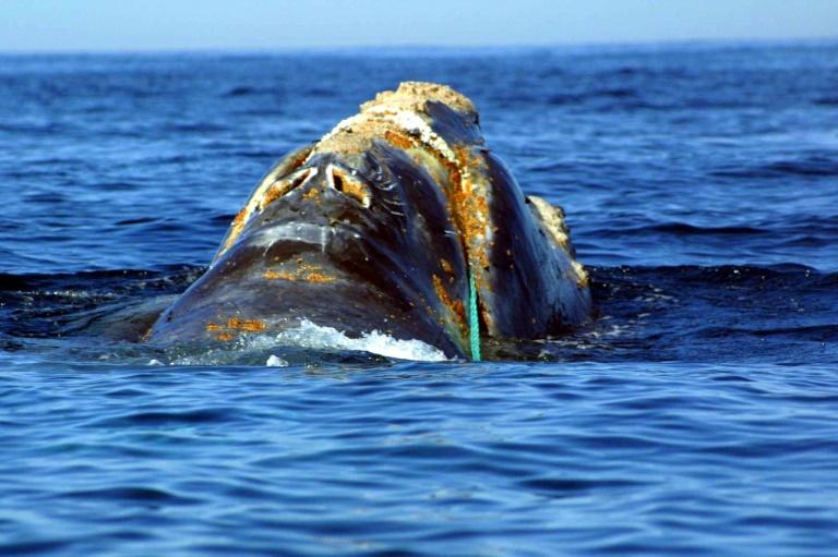 La ballena negra es una de las especies de cetáceos más amenazada del mundo: apenas quedan unos 500 ejemplares en los océanos NOAA/AFP/Archivos /
