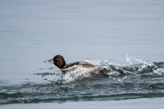Lesser Scaup coming in for a landing