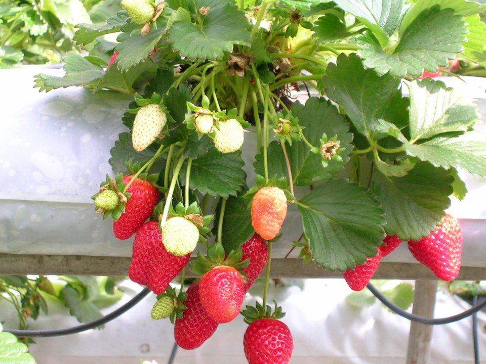7_Strawberries