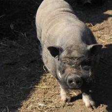 Porky, le papa cochon (de type asiatique)
