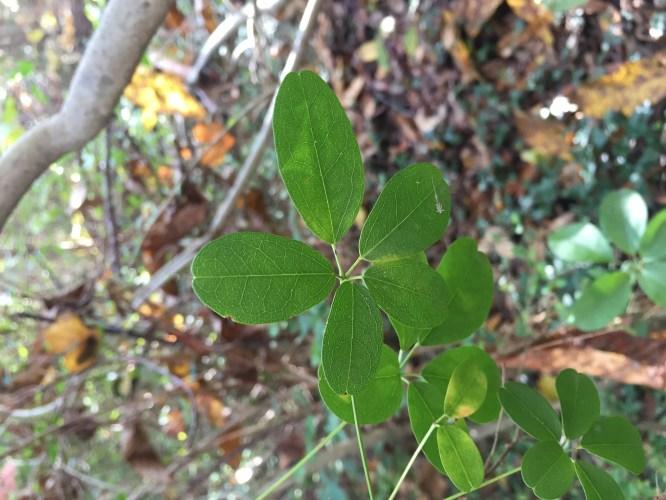 Medium Of 5 Leaf Vine