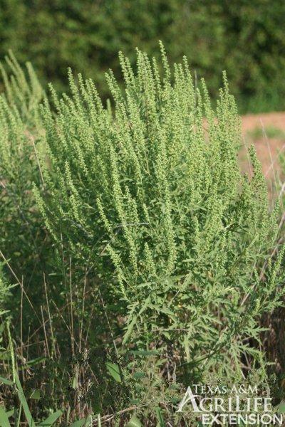 Plants of Texas Rangelands » Western ragweed