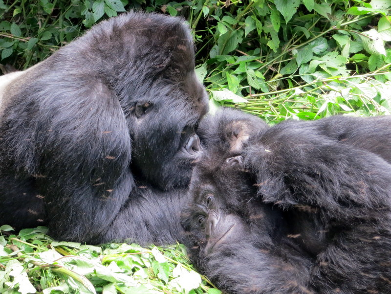 NYT 52 Places to Go's Extreme Destination This Year is a Doozy: The Gorillas in DR Congo