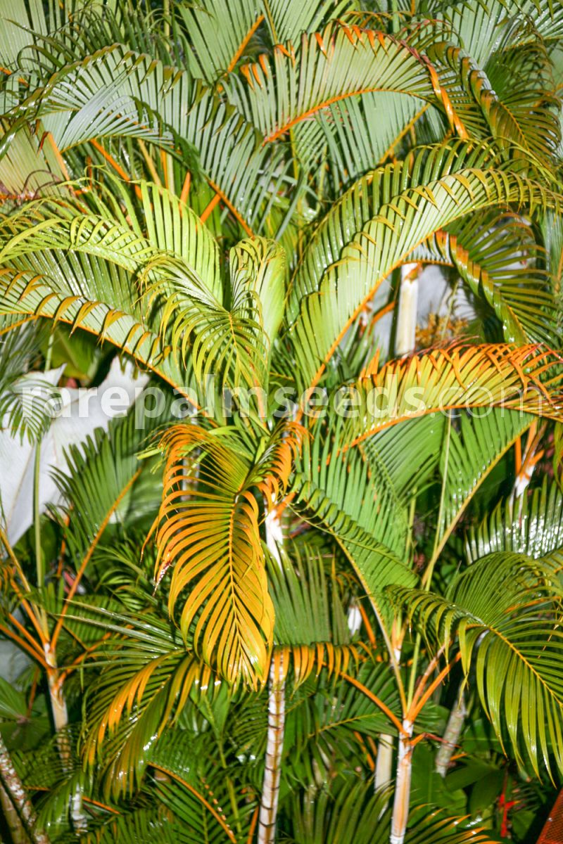 Dypsis Lutescens Golden Cane Palm Areca Palm Buy Seeds At Rarepalmseeds Com