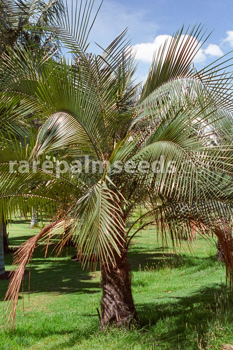 Rote Wohnzimmerschränke Parajubaea Cocoides Mountain Coconut Coco Cumbé Buy Seeds At