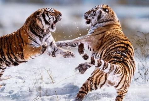 rasja.nl-conflicthantering-vechtende-tijgers