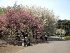 手前はカンザン、奥はイチヨウ(新宿御苑・桜園地、2010年4月21日昼撮影)