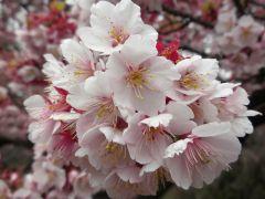 寒桜(管理事務所前)