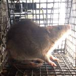 Norway Rat Trapping Atlanta 1