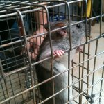 Rat removed from a Rat Trapping Job in Alpharetta