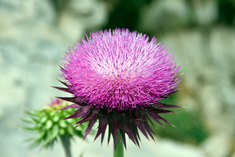 benefitsofmilkthistle