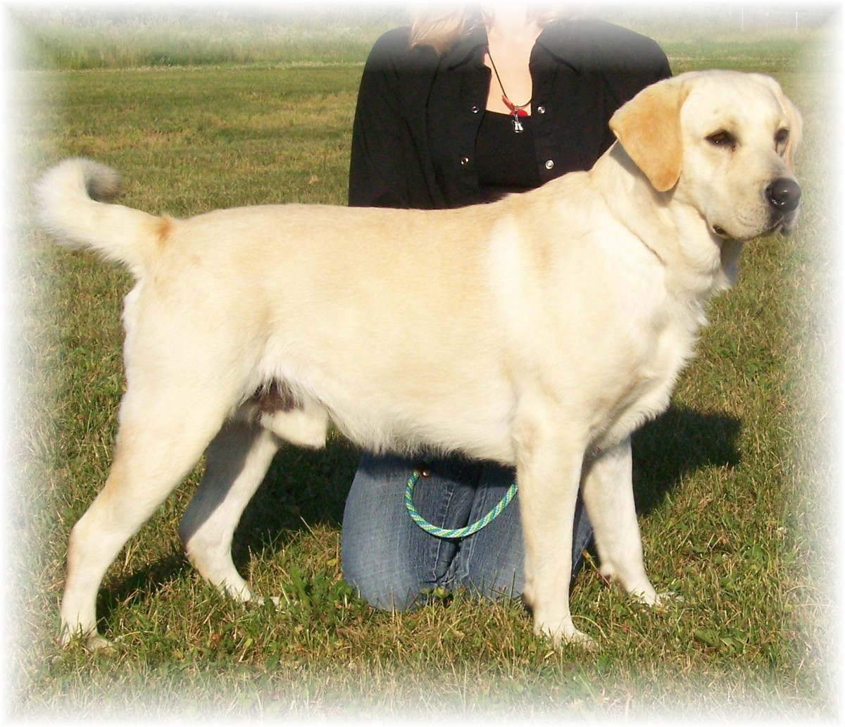 Yellow Lab Dogs For Sale Dreamer Razzle Dazzle Labradors Of Georgia