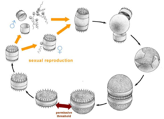 Algae World The diatom life cycle sexual phase