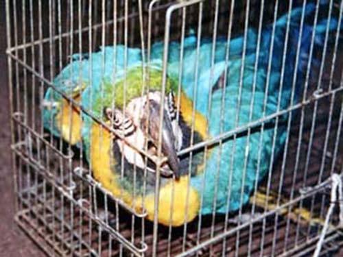 Pássaros silvestres são encontrados em situação de maus tratos