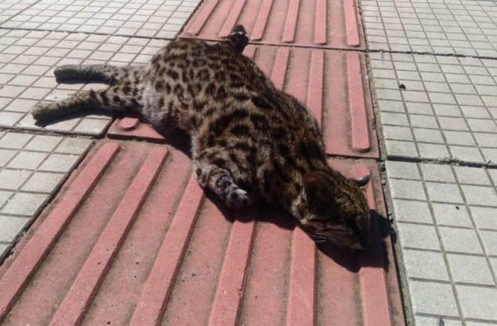 Jaguatirica é encontrada morta em estrada estadual de SC