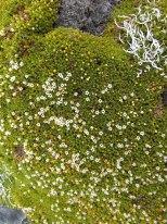 Dracophyllum muscoides
