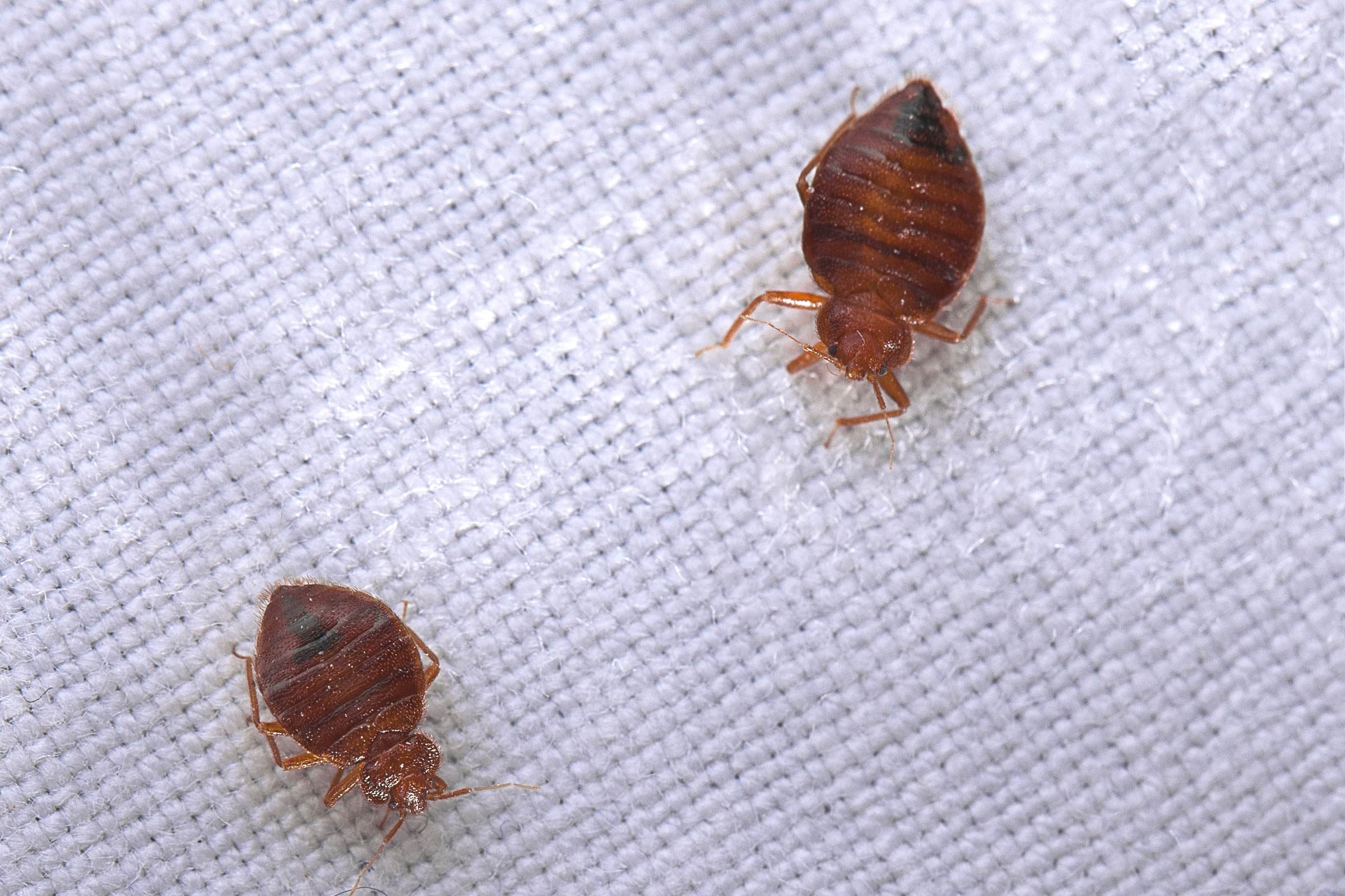 Images Of Bed Bugs Home Remedies For Bed Bugs Reader S Digest