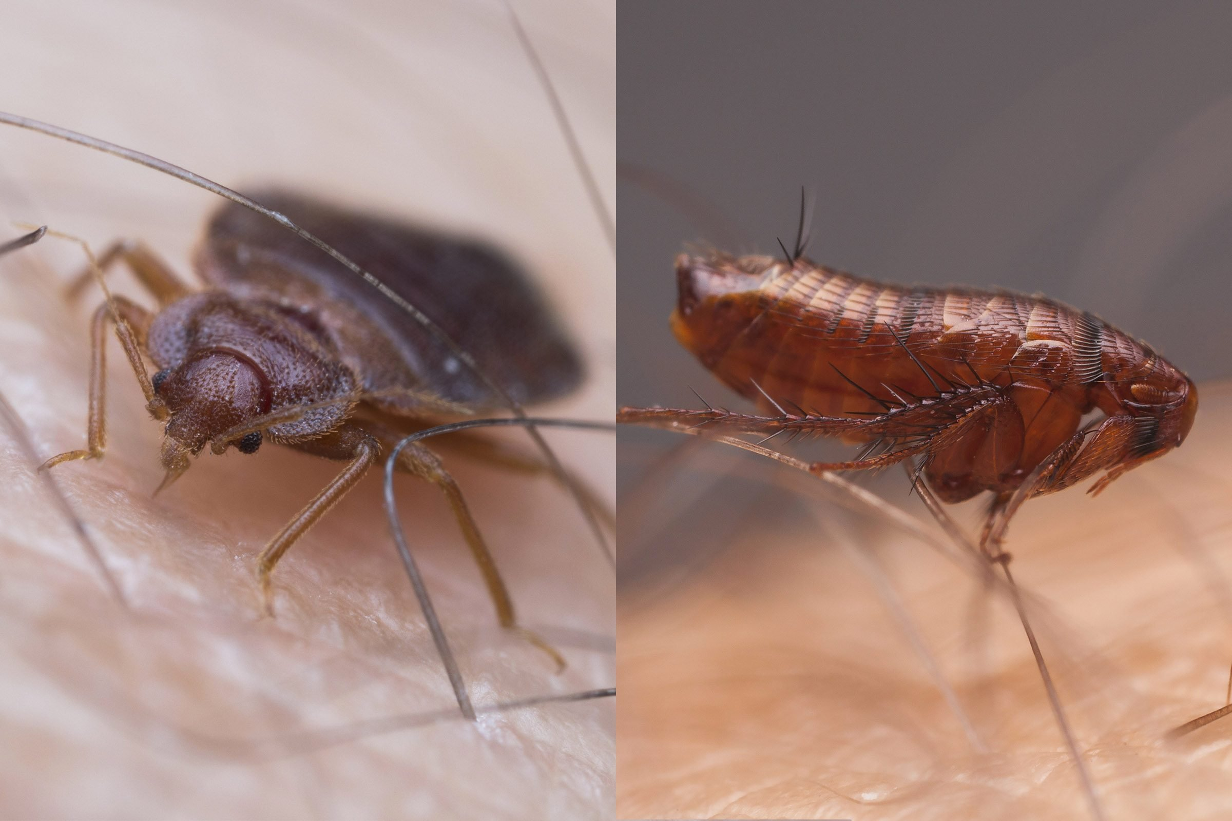 Images Of Bed Bugs What S The Difference Between Bed Bugs And Fleas Reader S Digest