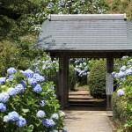 鎌倉のあじさい 見頃の時期とオススメ観光コース情報