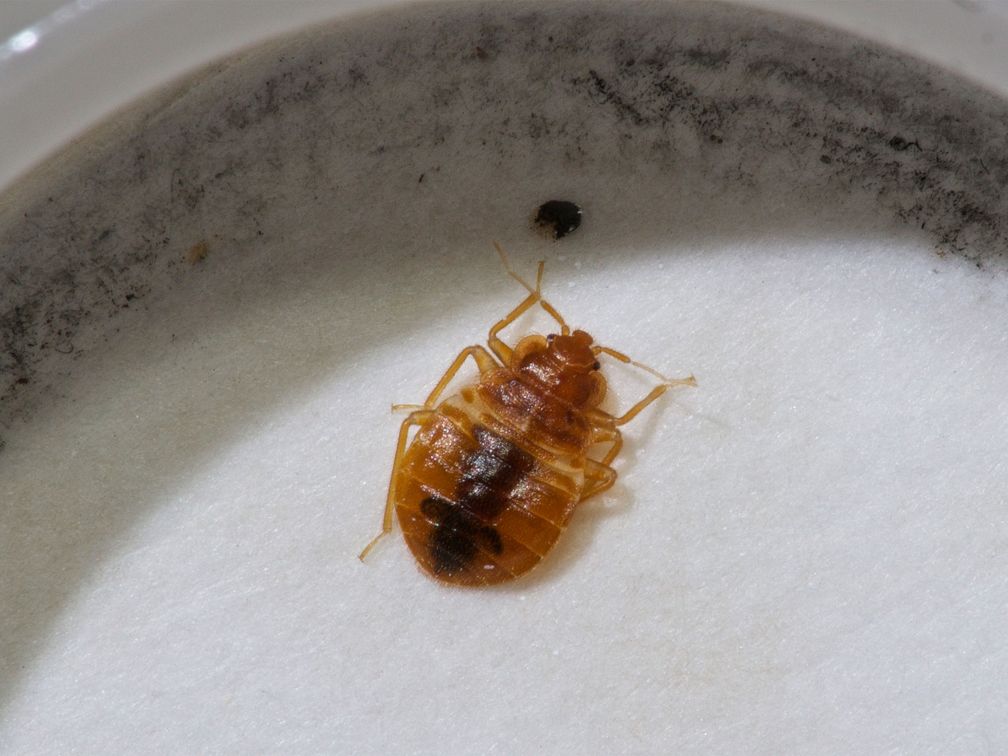 Getting Rid Of Bed Bugs How To Get Rid Of Bed Bugs Realestate Au