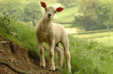 Lamb - 7