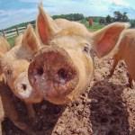Curious Pigs