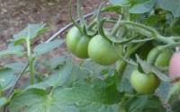 Ensalada de Mini Tomates