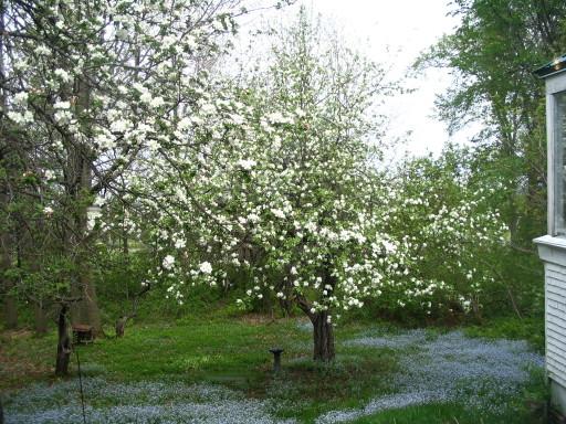 Pommiers en fleurs, myosotis et le coin de la véranda