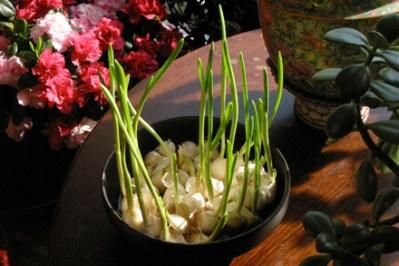 Garlic Shoots at Window