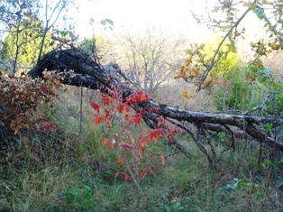 Dead redbud with native sumac in the fall.