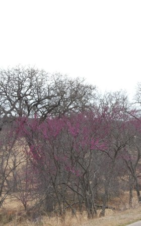 The purple blooms of Redbuds dot the rural Oklahoma landscape.